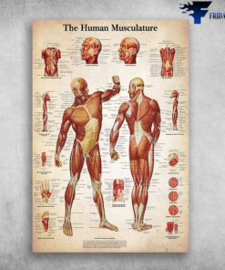 The Human Musculature - Manial Therapy Human Muscle, Human Body